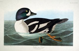 "Golden-eye Duck. From ""The Birds of America"" (Amsterdam Edition). John James AUDUBON"
