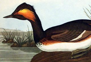 "Eared Grebe. From ""The Birds of America"" (Amsterdam Edition)"