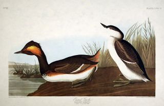 "Eared Grebe. From ""The Birds of America"" (Amsterdam Edition). John James AUDUBON"