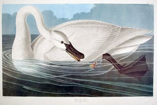 "Trumpeter Swan. From ""The Birds of America"" (Amsterdam Edition). John James AUDUBON"
