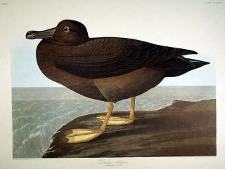 "Dusky Albatros. From ""The Birds of America"" (Amsterdam Edition). John James AUDUBON"