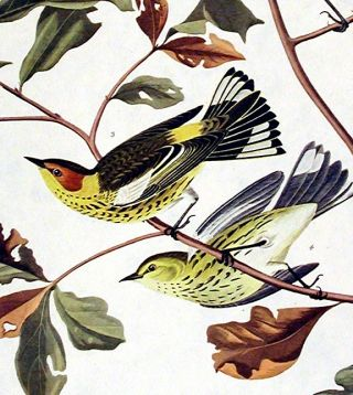 "Golden-winged Warbler, Cape May Warbler. From ""The Birds of America"" (Amsterdam Edition)"