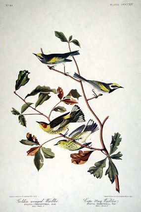 "Golden-winged Warbler, Cape May Warbler. From ""The Birds of America"" (Amsterdam Edition). John..."
