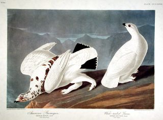 "American Ptarmigan, White-tailed Grous. From ""The Birds of America"" (Amsterdam Edition). John James AUDUBON."