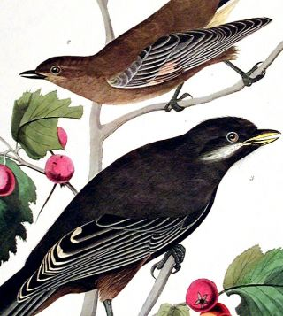 "Little Tawny Thrush, Canada Jay. From ""The Birds of America"" (Amsterdam Edition)"