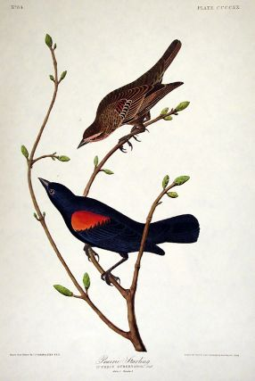 "Prairie Starling. From ""The Birds of America"" (Amsterdam Edition). John James AUDUBON"