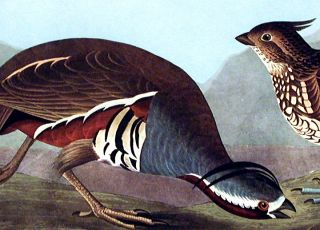 """Plumed Partridge, Thick-legged Partridge. From """"The Birds of America"""" (Amsterdam Edition)"""