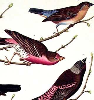 "Lazuli Finch, Crimson-necked Bull-finch, Grey-crowned Linnet, Cow-pen Bird, Evening Grosbeak, Brown Longspur. From ""The Birds of America"" (Amsterdam Edition)"