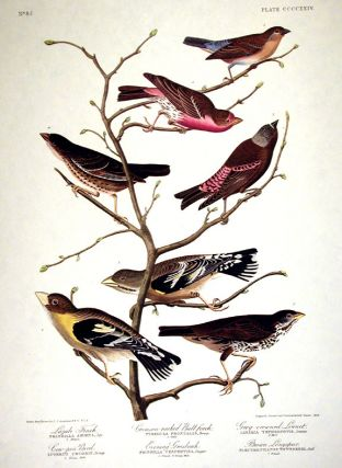 Lazuli Finch, Crimson-necked Bull-finch, Grey-crowned Linnet, Cow-pen Bird, Evening Grosbeak,...
