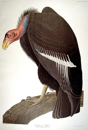 "California Vulture. From ""The Birds of America"" (Amsterdam Edition). John James AUDUBON"