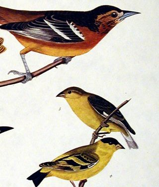 "Bullock's Oriole, Baltimore Oriole, Mexican Goldfinch, Varied Thrush, Common Water Thrush. From ""The Birds of America"" (Amsterdam Edition)"