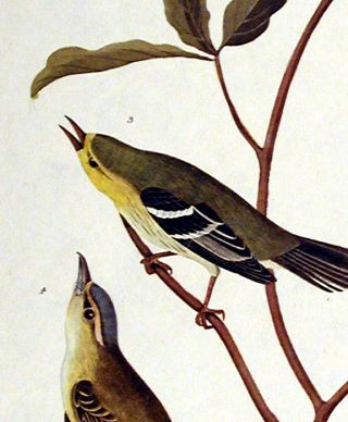 """Little Tyrant Fly-catcher, Small-headed Fly-catcher, Blue Mountain Warbler, Common Water Thrush. From """"The Birds of America"""" (Amsterdam Edition)"""