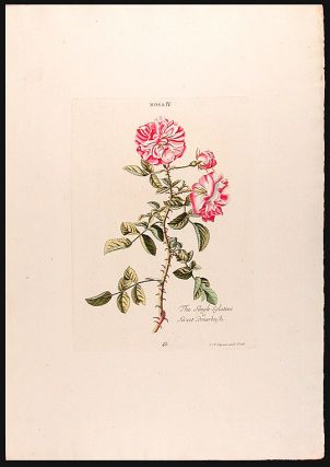 Rosa IV, The Single Eglatine or Sweet Briarbush. Christoph Jakob TREW