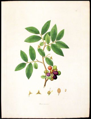 Uvaria tomentosa. William ROXBURGH