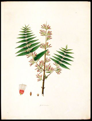 Grislea tomentosa. William ROXBURGH