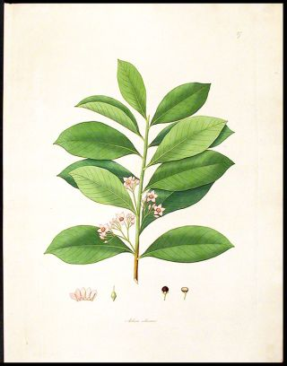 Ardisia solanacea [Shoebutton Ardisia or Marlberry]. William ROXBURGH