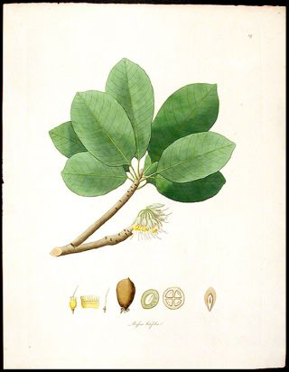 Bassia latifolia [Broad-leaved Mahua or Mowha]. William ROXBURGH