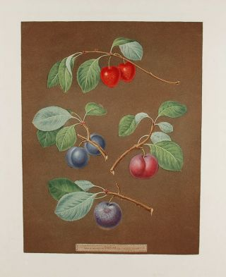 Plums] Cherry Plum; Laurance Plum; French Orlean; Common Orlean. After George BROOKSHAW