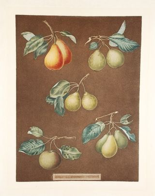 Pears] King Catherine Pear (Catherine Royal); Lemon Pear; Late Petite Muscat; Oignon La Reine;...