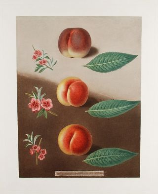 Peach] Millet's Minion Peach, Superb Royal Peach, Double Swalsh Peach. After George BROOKSHAW