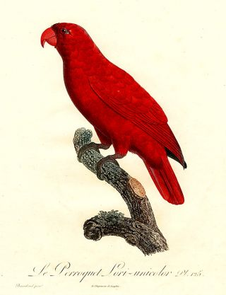 Le Perroquet Lori-unicolor [Lory (Lorius sp.)]. Jacques BARRABAND, 1767/.