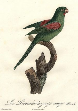 Orange-chinned Parakeet. (La Perruche à gorge rouge) (Brotogeris sp.)]. Jacques BARRABAND, 1767/