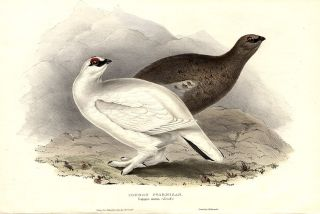 Common Ptarmigan. Lagopus mutus. John GOULD