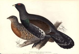 Capercailzie or Cock of the Wood. Tetrao Urogallus. Edward LEAR