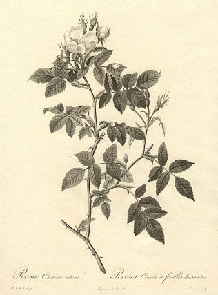 Rosa Canina nilens / Rosier Canin à feuilles luisantes [Variety of Dog Rose]. Pierre-Joseph...