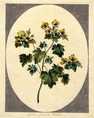 Golden flower'd Henbane. John EDWARDS