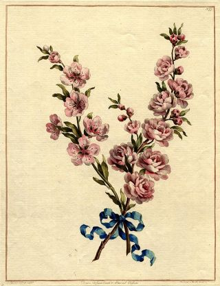 Double blossom Peach & Almond blossom. John EDWARDS