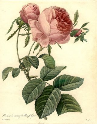 Rosier à cent-feuilles, foliacé [Centifolia Rose]. After Pierre-Joseph REDOUT&Eacute
