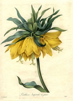 Fritillaire Imperiale var. jaune [Crown Imperial Fritillary]. After Pierre-Joseph REDOUT&Eacute