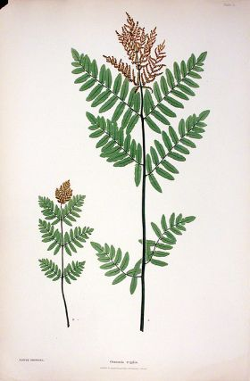 Osmunda regalis [Buckthorn Brake]. Thomas MOORE