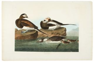 Long-Tailed Duck [Oldsquaw]. John James AUDUBON