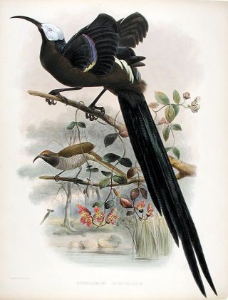Great sickle-billed Bird of Paradise, Plume bird or Great promerops] Epimachus speciosus. Joseph...