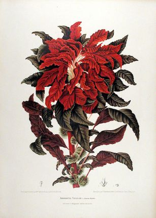 Amarantus Tricolor [Variegated Amaranth]. After Berthe HOOLA VAN NOOTEN, 1840 -1885