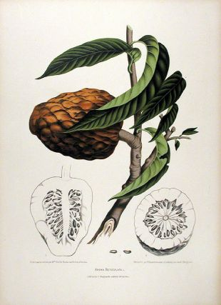 Anona Reticulata [Custard Apple]. After Berthe HOOLA VAN NOOTEN, 1840 -1885