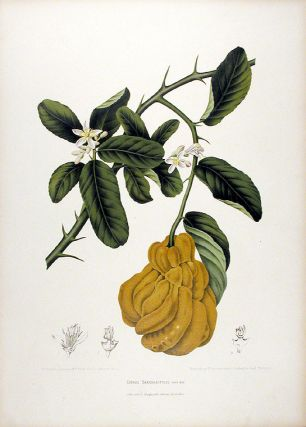 Citrus Sarcodactylis [Fingered Citron or Buddha's Hand]. After Berthe HOOLA VAN NOOTEN, 1840 - 1885