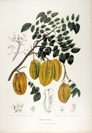 Averrhoa Bilimbi [Bilimbi or Cucumber Tree]. After Berthe HOOLA VAN NOOTEN