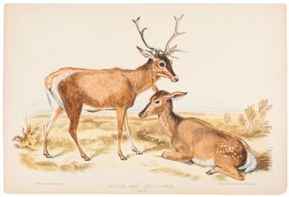 Persian Deer Cervus Maral. Winter. Benjamin WATERHOUSE HAWKINS