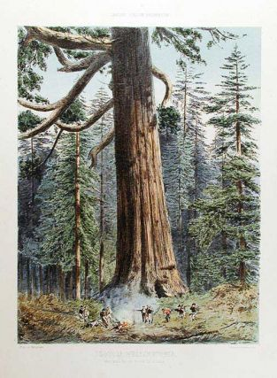 Sequoia Wellingtonia. Mariposa Grove, South California. Edward James RAVENSCROFT, - F. SCHENCK,...