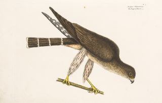 Pigeon Hawk. Mark CATESBY