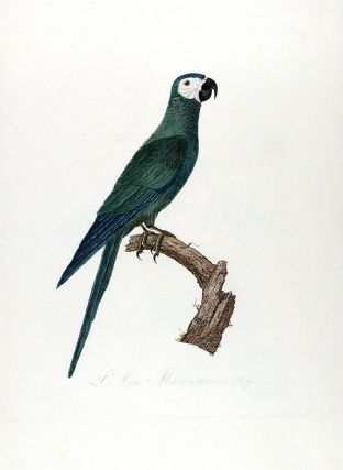 Red-bellied Macaw (L'Ara Macavouanne). Jacques BARRABAND, 1767/