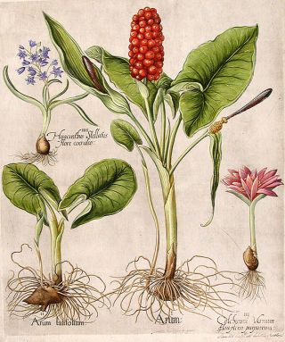 [Cuckoopint in flower and in fruit] Arum; [Cuckoopint, juvenile shoot] Arum latifolium; [Spring meadow saffron] Colchicum Vernum flo pleno purpureum; [Star hyacinth] Hyacinthus Stellatus flore coeruleo. Basil BESLER.