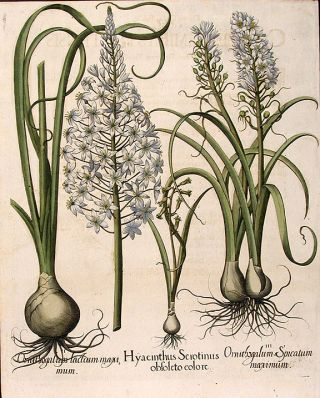Late hyacinth] Hyacinthus Serotinus obsoleto colore; [Star-of-Bethlehem] Ornithogalum lactum...