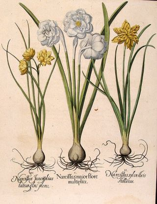 Double-flowered white garden narcissus] Narcissus maior flore multiplice; [Double-flowered...
