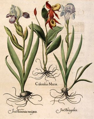 Lady's Slipper] Calceolus Mariæ; [Blue variegated bearded iris] Iris Portugalica; [Dark...
