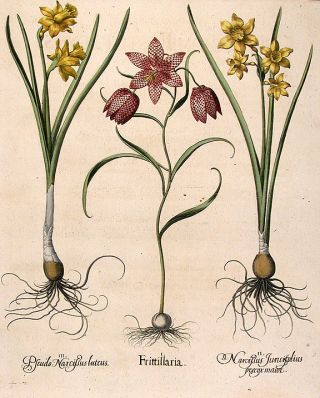 Fritillary or Guinea-hen flower] Frittillaria; [Fragrantr jonquil] Narcissus Juncifolius præcox...