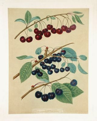 Cherries] Morello; Caroon; Ronolds Black Heart. After George BROOKSHAW